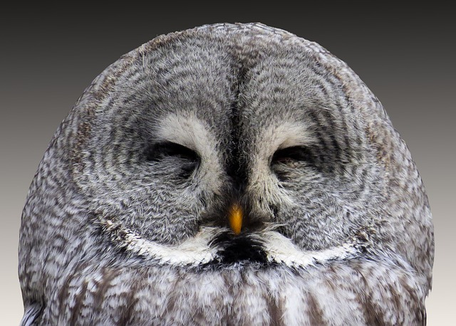 Photo of an Owl with it's eyes shut